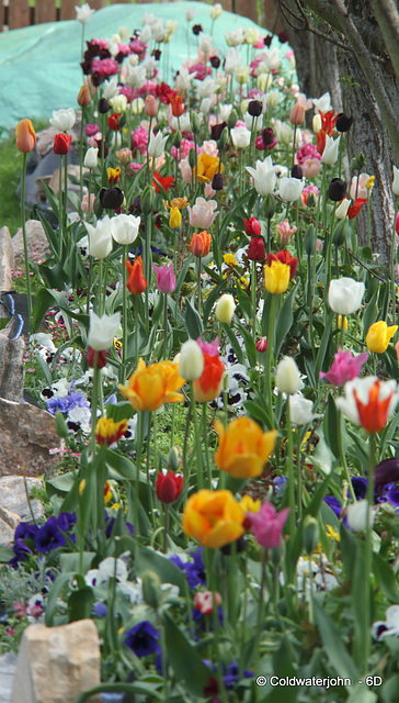 "The Tulip ""Trench"""