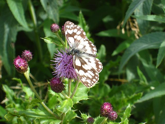 Papillon sauvage des contrées de Haute-Loire : Le demi deuil