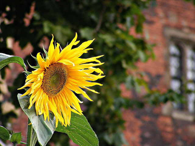 Lambeth Palace and sunflower