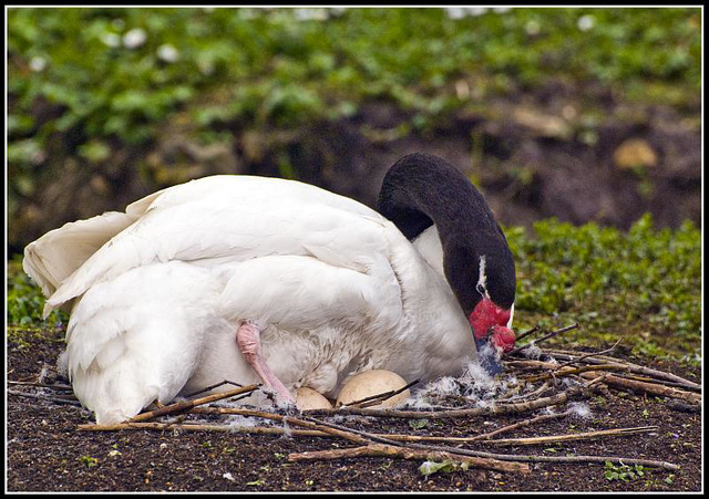 Black Necked Swan with eggs