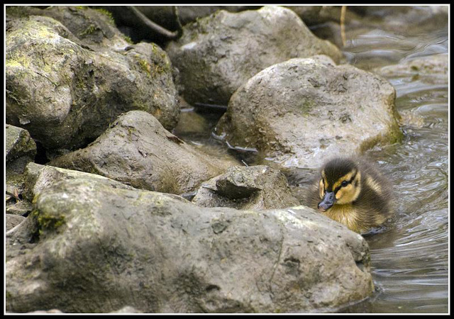 Duckling  looking for Mum