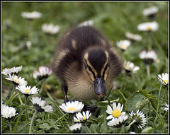 Duckling among the daisies
