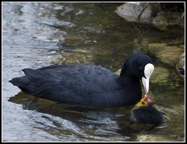 Coot feeding baby