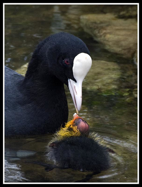 Coot feeding baby (Crop)