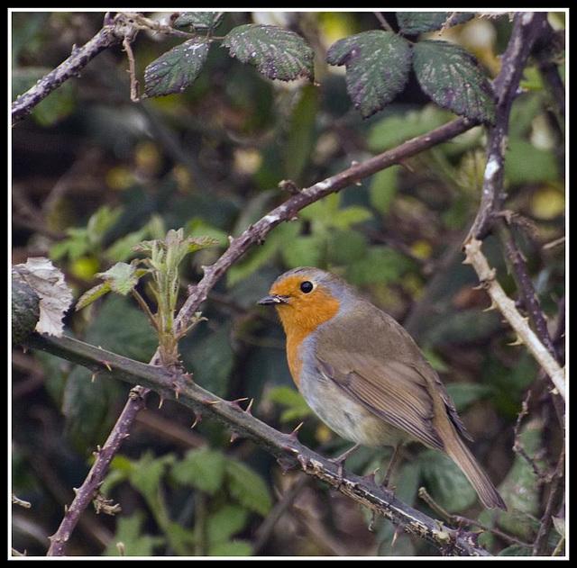Robin eating a bug