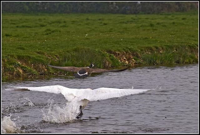 Swan chasing goose
