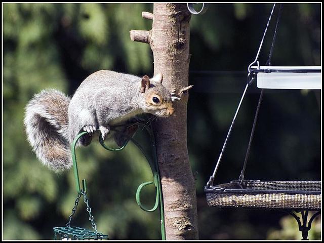 Grey Squirrel on bird feeder