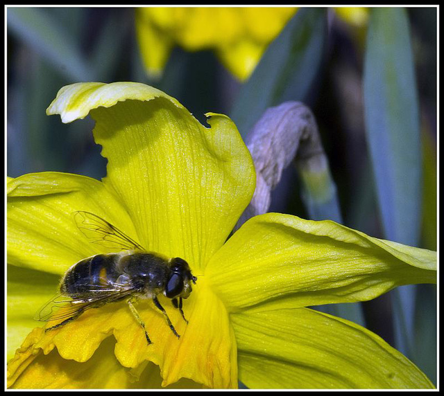 Daffodil & Hoverfly