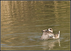 Marbled Duck (Mating behaviour)