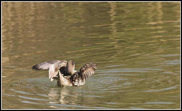 Marbled Duck (Mating behaviour)