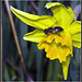 Daffodil & Hoverfly