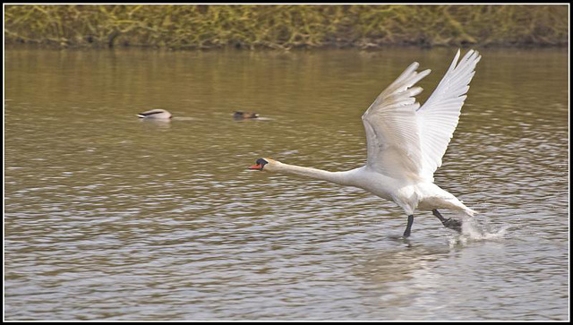 Swan - Take off