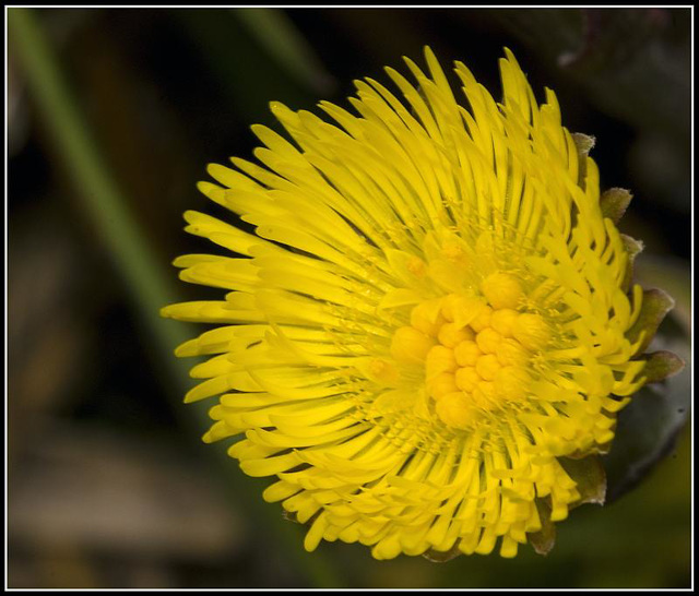 Smooth_Sow_Thistle (I think?)