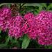 Blühende Heckenpflanze