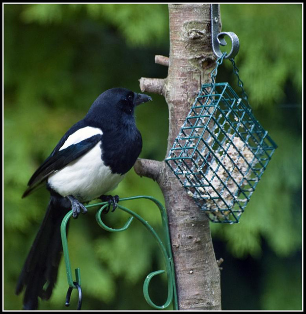 Magpie on feeder