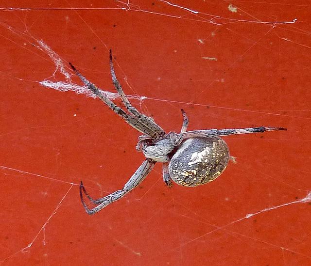 Spider (1422)