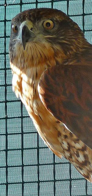 Ferruginous Hawk (1437)