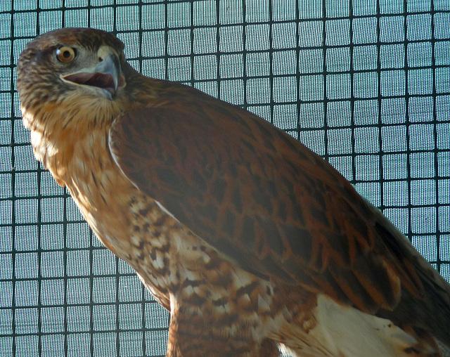 Ferruginous Hawk (1438)