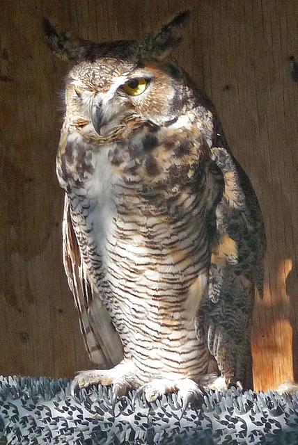 Owl (1423)