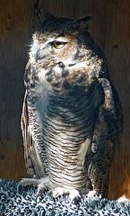Owl (1425)