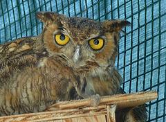 Owl (1442)