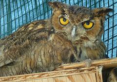 Owl (1443)