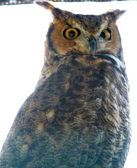 Owl (1446)