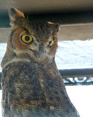 Owl (1447)
