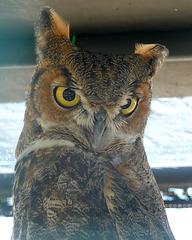 Owl (1449)