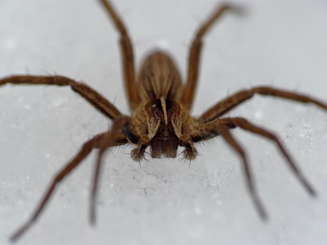Nursery Web Spider on Ice 2