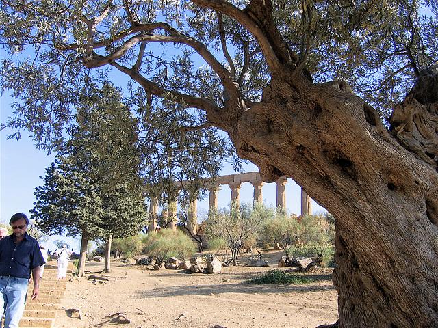 L'olivier et l'antique