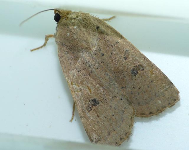 Lesser Yellow Underwing
