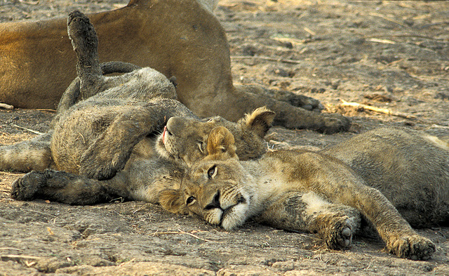 Well Fed Lion Cubs