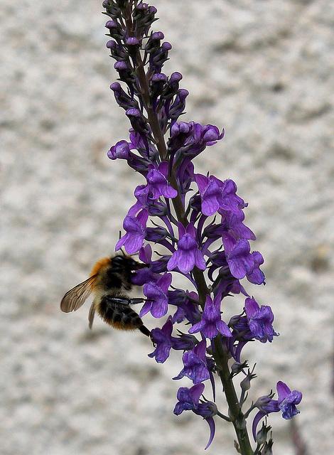 Linaria purpurea