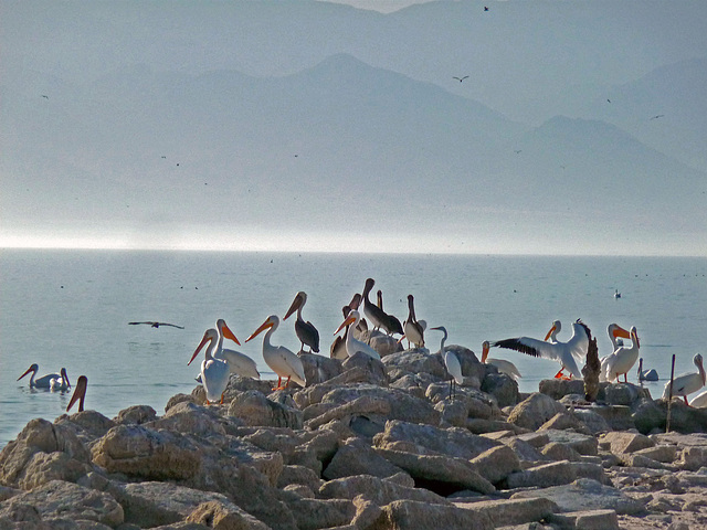 North Shore Pelicans (1681)