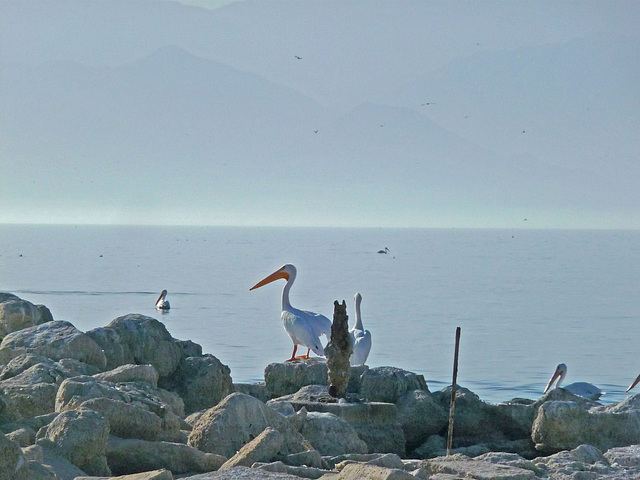 North Shore Pelicans (1682)