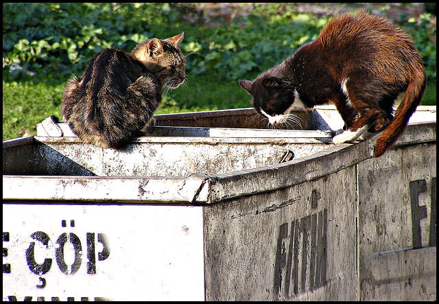 Fatih cats