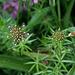 Phuopsis stylosa-Crucianelle