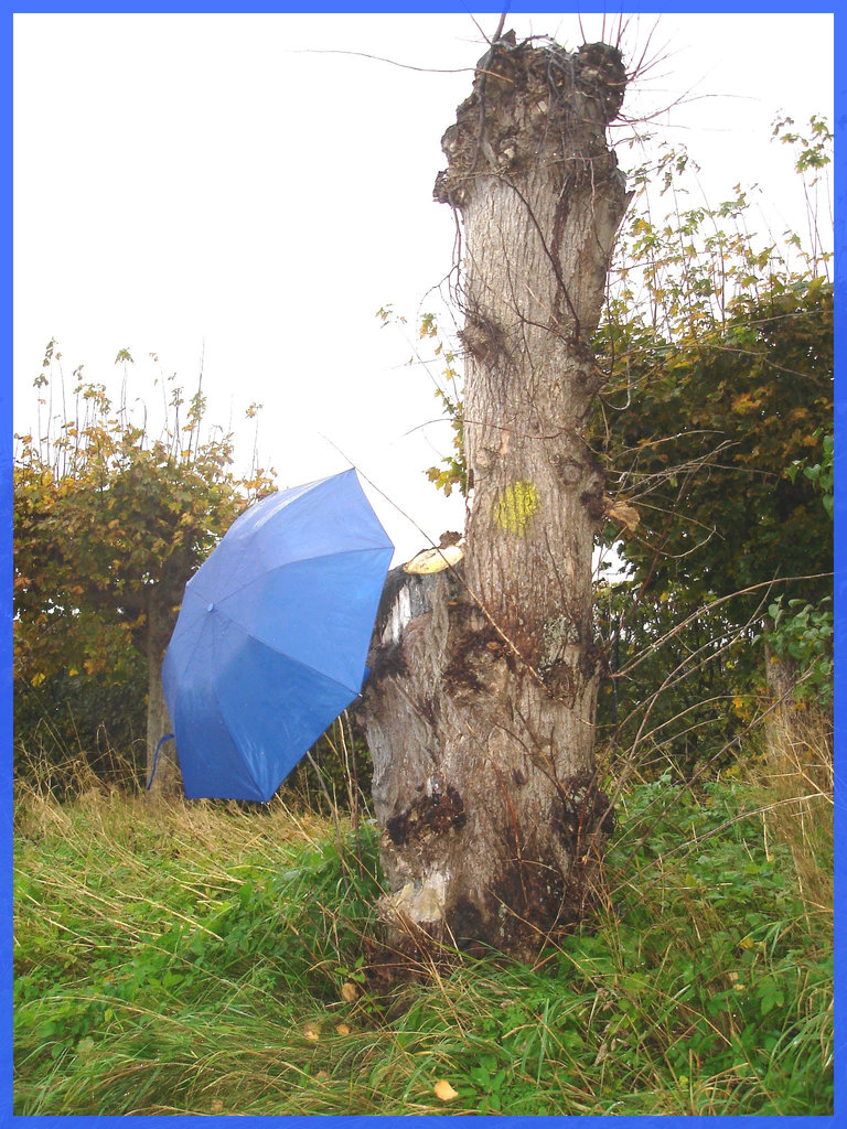 Arbre trapu et ombrelle bleue / Squat tree and blue parasol - Båstad / Sweden - Suède.  1er novembre 2008