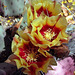 Cactus Blooms Yellow (1)