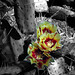 Cactus Blooms Yellow (2)