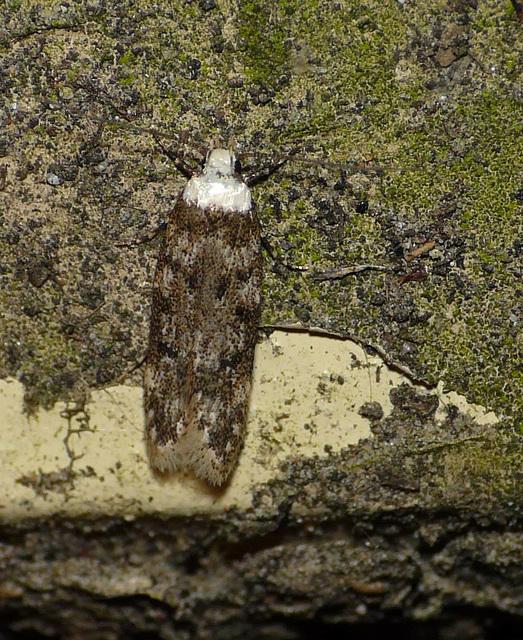 White-shouldered House-moth