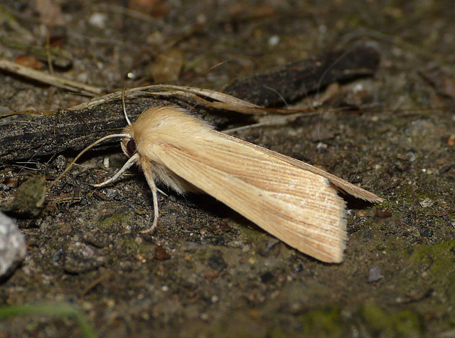Common Wainscot -Side