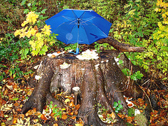 Champignons sur souche sevis sous le parapluie / Mushrooms on the stump snack underneath blue umbrella -Båstad , Sweden. 21 octobre 2008