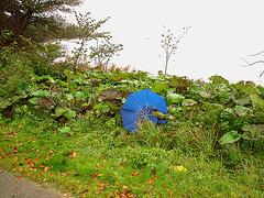 Wild Viking rhubarb / Rhubarbe sauvage de Vikings et parapluie bleu. Båstad , Suède.  21 octobre 2008