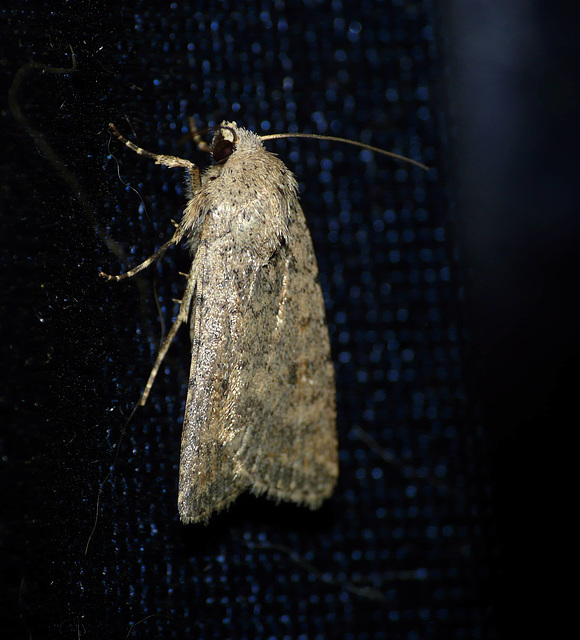 Pale Mottled Willow