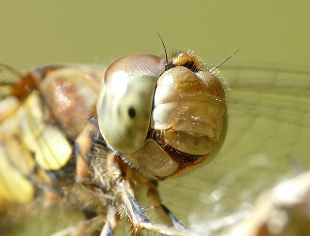 Common Darter Face Female