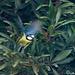 Herrerillo común (Parus caeruleus)