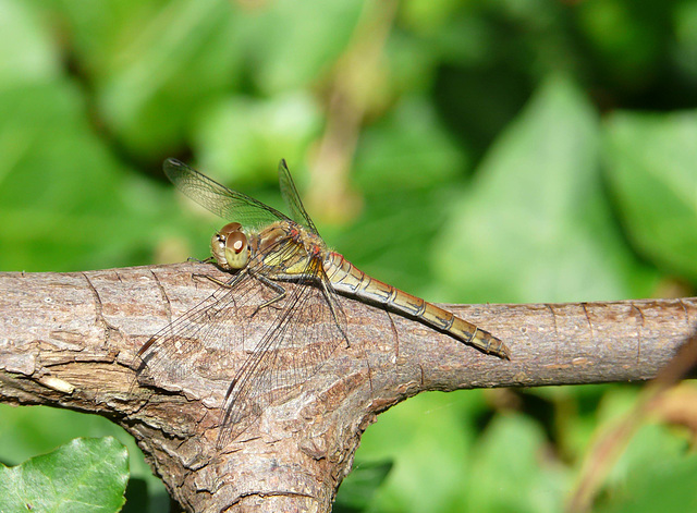 Common Darter Greyish -Female