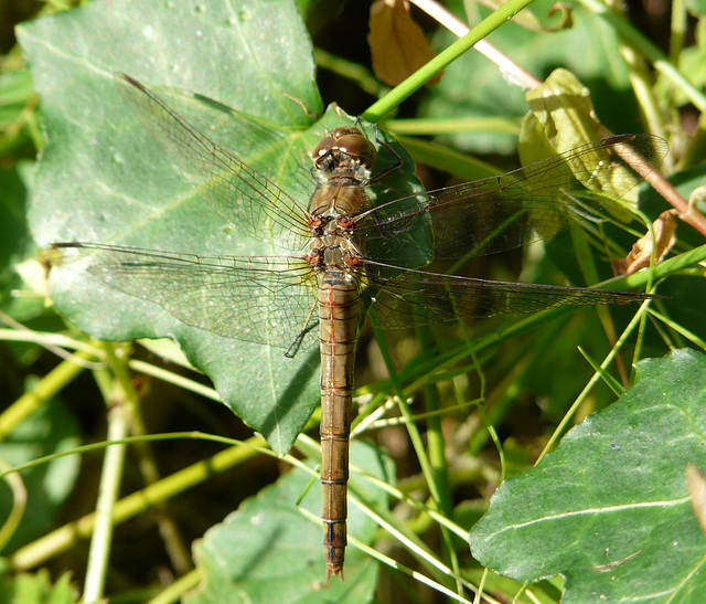 Common Darter Grey & Red -Female